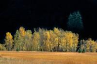 Cottonwoods, Populus trichocarpa, Yosemite Valley, California, Autumn, Foliage, Golden, Shadows, Gold