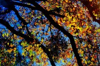 Black Oaks,Yosemite Valley, Quercus kelloggii, California