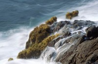 Seapalms, Postelsia palmaeformis, Mendocino, California