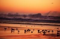 Birds Shorebirds Sunset Waves Santa Cruz Beach California