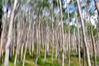 Quaking Aspens,Santa Fe, New Mexico, Blur, Blurred, Abstract, Motion, Painting, Painterly