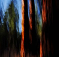 Sequoiadendron giganteum, Forest,Calaveras Big Trees State Park,Abstract, Blur, Blurred, Painting, Painterly, Abstract,Sierra Nevada, Giant Redwood, Giant Sequoia