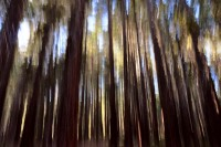 Sequoiadendron giganteum, Forest, Calaveras Big Trees State Park, Fire, New Growth, Abstract, Blur, Blurred, Painting, Painterly, Abstract,Sierra Nevada, Giant Redwood, Giant Sequoia